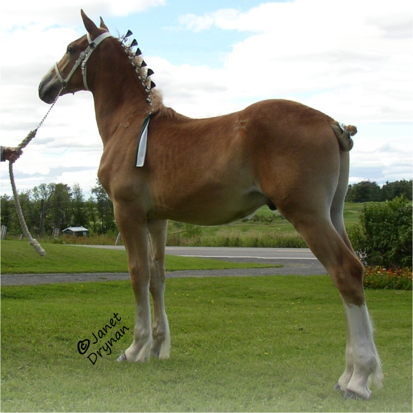 Maple Ridge Rocket <br>1st Sr. Stallion Foal NABC V